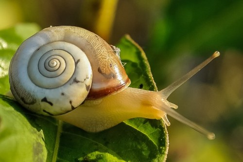 como se reproducen los animales moluscos